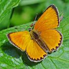 Scarce Copper - Cuivré de la verge-d'or (male)