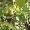 Obscure Bird-wing Grasshopper