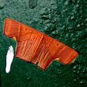Geometridae-Sterrhinae