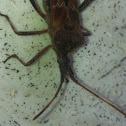 Conifer seed bug, Bladpootwants (dutch)