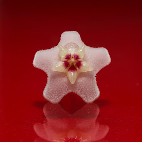 Little STAR by Laurentiu Lupascu - Flowers Single Flower ( red, white, star, flower, closeup,  )