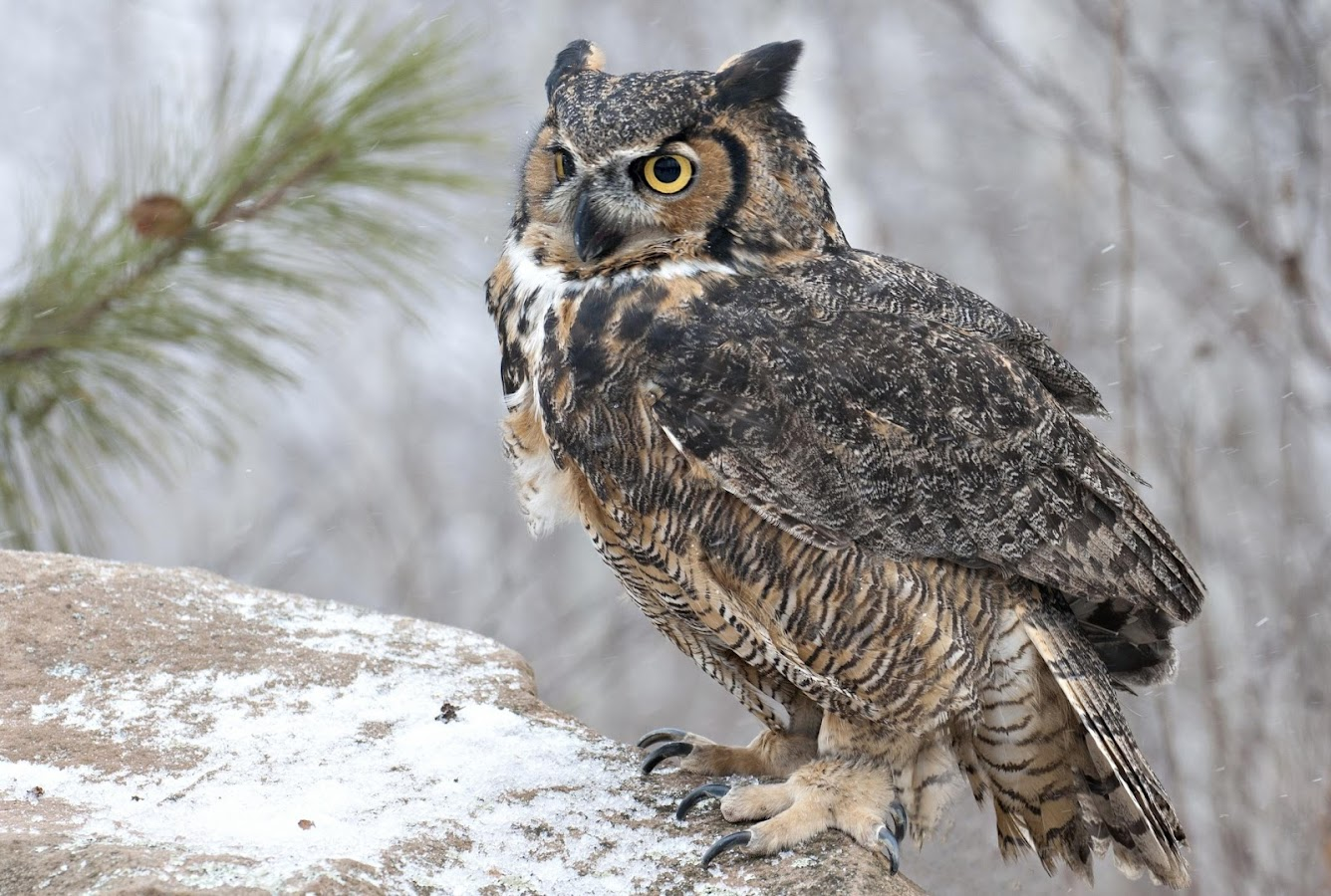 Owl Wallpaper Android Apps on Google Play