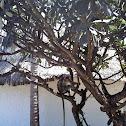 Zanzibar red colobus