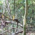 Tree Shrew (Species?)