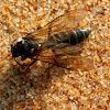 Flower Wasp - male