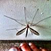 Common Mosquito (Male)