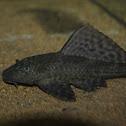 Janitorfish