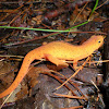 Eastern Newt; Red-Spotted Newt