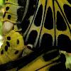 Southern Birdwings Mating