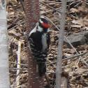 Woodpecker Finn Male