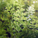 Film Fern (Hymenophyllum cuneatum)