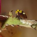 Membracis Treehopper
