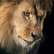 Amazing lions wallpapers apps on google play amazing lions wallpapers voltagebd Gallery