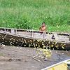 Yellow Sulphur Butterflies