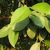 Native australian mangosteen
