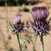 a Cotton Thistle