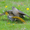 Cooper's Hawk with Yellow Shafted Northern Flicker