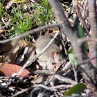 Brown Antechinus