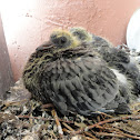 City pigeon (squabs)