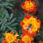 europe honey bee