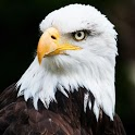 Bald Eagle Live Wallpaper icon