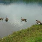 Cackling Goose - Zwergkanadagans