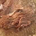 Chocolate Tube Slime Mold