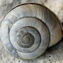 Mount Olympus snail
