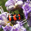 Red & Blue Soldier Beetle