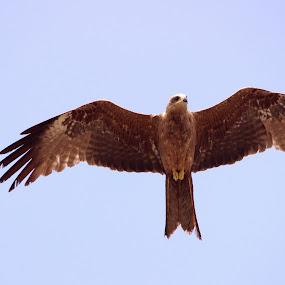 Regal Wings by Seema Nair - Animals Birds ( bird, flyin, bird of prey, eagle, hawk )