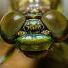 Dragonfly (emerging from its excuvia) 2