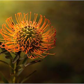 Protea by Susan Pretorius - Flowers Single Flower
