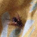 Native Bush gad fly
