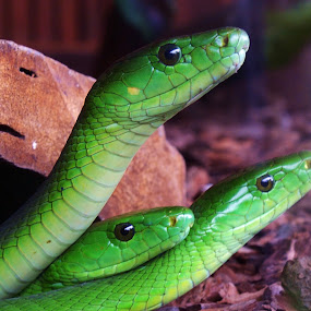 Three Heads by Hennie Wolmarans - Animals Reptiles ( reptiles, slither, green, snakes, rocks,  )