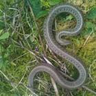 Northwestern gartersnake