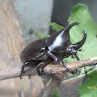 Rhinocerus Beetle