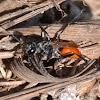 Sphecidae Wasp