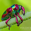 Metallic weevil