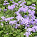 Flossflower or bluemink