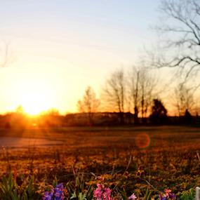Sunrise on Hyacinth Hill by Ruby Stephens - Landscapes Sunsets & Sunrises ( sunspots, purple, hyacinths, sunrays, white, bare pecan trees, pink, sunrise )
