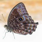 Nymphalid butterfly