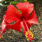 rosa de China, cayena, cucarda, hibisco