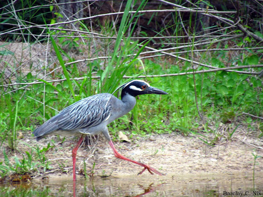 Yellow Crowned Night Heron on Buffalo Bayou in Houston, Texas.
