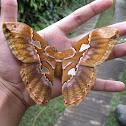 Rothschildia Moth