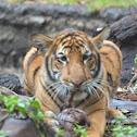 Malayan Tigers