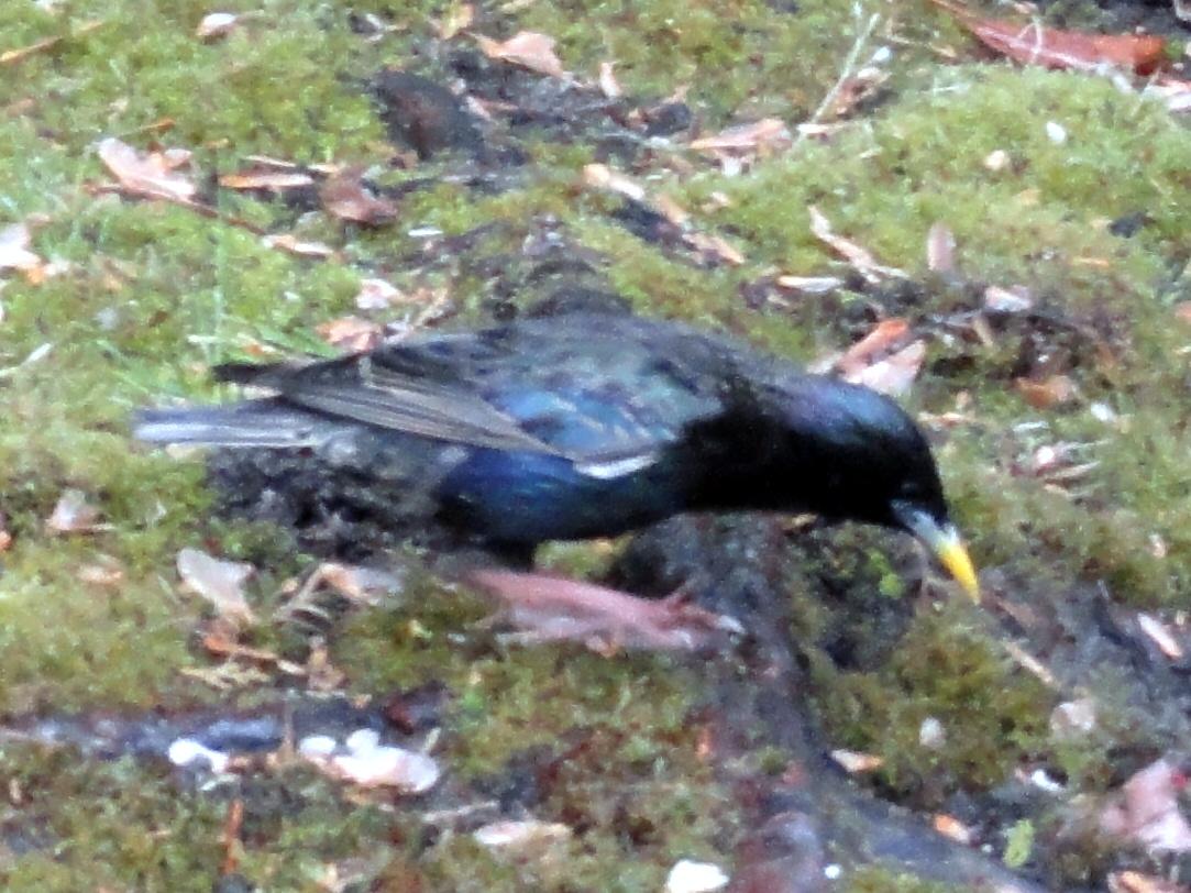 Common European Starling