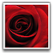 Rose of Love Wallpapers