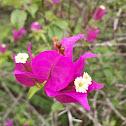 Bugambilia (Veranera)