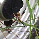 Black-and-Yellow Garden Spider