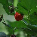 Salmonberry